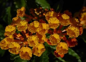Tangerine Lantana (Orange, Trailing to Mounding)