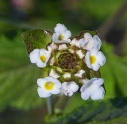 White Hammock Shrubverbena, Small-Headed Lantana
