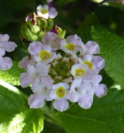 Pink Hammock Shrubverbena, Small-Headed Lantana