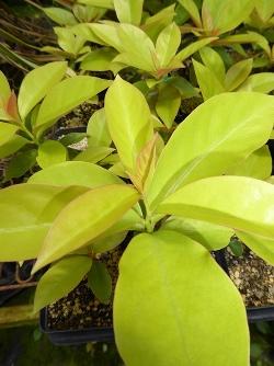 Lemon Vine, Lemon-Leaf Rose Cactus
