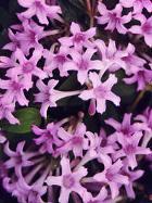 False Lilac
