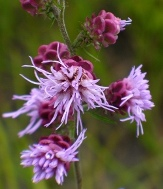 Tall Blazing Star, Gayfeather, Liatris, Rough Blazing Star, Button Snakeroot