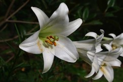 Formosa Lily, Phillipine Lily, Taiwan Mountain Lily, Lilium formosanum