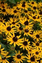 Little Goldstar Black-Eyed Susan, Rudbeckia