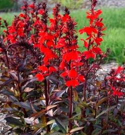 STARSHIP™ Scarlet Bronze Leaf Lobelia