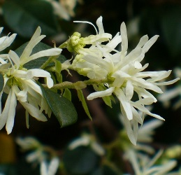 Green Giant Loropetalum, Chinese Witch Hazel