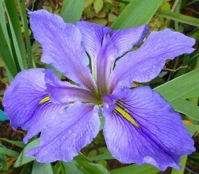 Clyde Redmond Louisiana Iris (Blue Falls and Standards, Gold Signals, Mid Season)