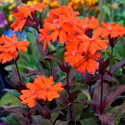 Orange Gnome Lychnis, Maltese Cross, Catchfly, Campion, Lychnis x arkwrightii 'Orange Gnome', Silene x arkwrightii 'Orange Gnome'
