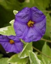Great Clorox Disaster Paraguayan Night Shade, Blue Potato Bush, Solanum Vine, Lycianthes rantonnetii 'Great Clorox Disaster', Solanum rantonnetii