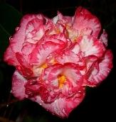 Margaret Davis Camellia