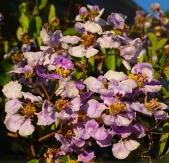 Blue Orchid Vine, Lavender Orchid Vine, Lilac Orchid Vine, Violet Orchid Vine