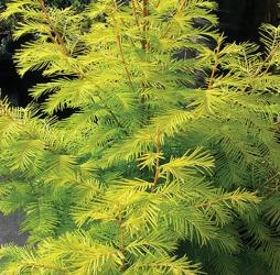 Amber Glow™ Dawn Redwood