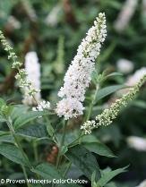 Miss Pearl Butterfly Bush, Buddleja