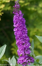 Miss Violet Butterfly Bush, Buddleja