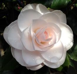 Mockingbird's Blush™ Camellia