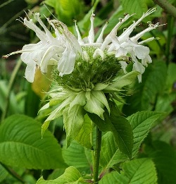 Yellow Flowered Beebalm, Wild Bergamot