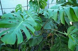 Split-Leaf Philodendron, Ceriman, Monstera, Cutleaf Philodendron, Swiss Cheese Plant, Hurricane Plant, Mexican Breadfruit