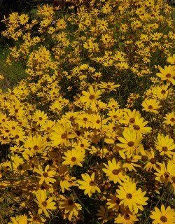 Muck Sunflower, Tall Swamp Sunflower, Tall Narrow-Leaved Swamp Sunflower