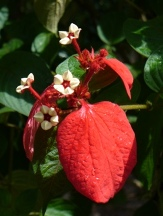 Red Velvet Mussaenda, Ashanti Blood Plant, Red Flag Bush, Tropical Dogwood, Prophet's Tears, Virgin Tree