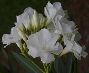 Magnolia Willis Sealy Double White Oleander, Mont Blanc Oleander