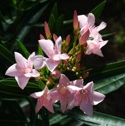 Petite Pink Oleander