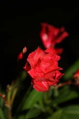 General Pershing's Double Red Oleander