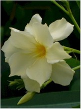 Mathilde Ferrier Oleander, Hardy Double Yellow Oleander