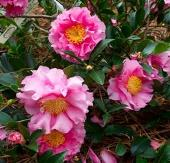 October Magic® Carpet™ Camellia, Camellia sasanqua 'Green 01-006'