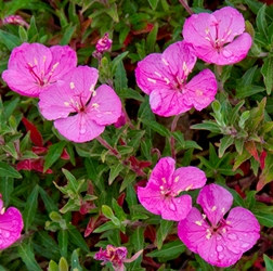 Glowing Magenta Kunth's Sundrop, Evening Primrose, Oenothera kunthiana 'Glowing Magenta'