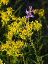 Flat-Top Goldenrod, Shiny Goldenrod