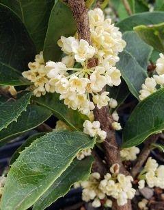 Fodingzhu Sweet Olive, Nanjing Beauty Sweet Olive