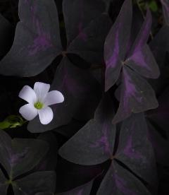 Purple False Shamrock, Oxalis, Wood Sorrel