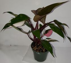 #12 Pink Princess Philodendron