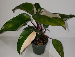 #17 Pink Princess Philodendron