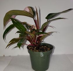 #3 Pink Princess Philodendron
