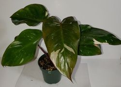 #5 Pink Princess Philodendron