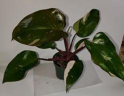 #7 Pink Princess Philodendron