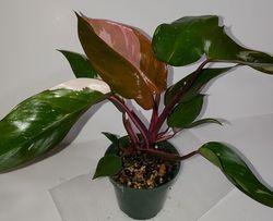 #9 Pink Princess Philodendron