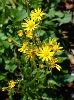 Roundleaf Golden Groundsel, Roundleaf Golden Ragwort, Squawweed