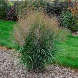 Gunsmoke Switchgrass