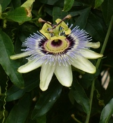 White Passion Flower, Blue Crown Passion Vine