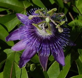 Aphrodite's Purple Nightie™ Passion Flower, Passion Vine, Passiflora 'Aphrodite's Purple Nightie'