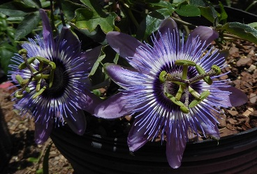 Betty Myles Young Passionflower, Passionvine