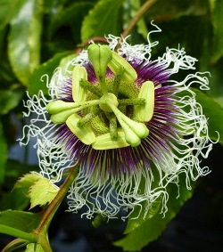 Possum Purple Fruiting Passion Vine, Passionflower, Passionvine
