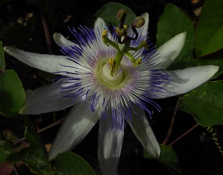 Star of Surbiton Passion Flower, Passionvine