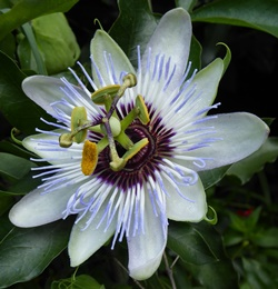 Clear Sky Passion Flower, Passion Vine