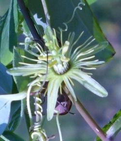 Native Yellow Passionflower, Passionvine