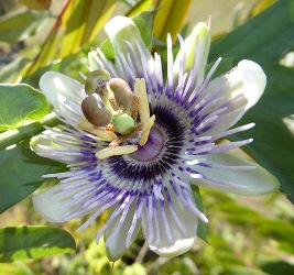 How-How, White-Leafed Passionflower, Passion Vine, Passionfruit, Passiflora mooreana