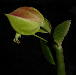 Tall Slipper Plant, Little Bird Plant, Candililla, Green Jacob's Ladder