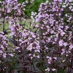 Blackbeard Penstemon, Beardtongue, Penstemon 'Blackbeard'